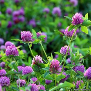 red-clover-3